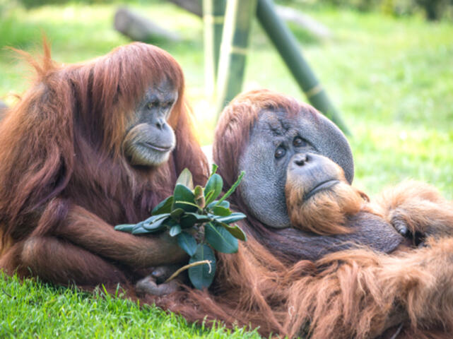 San Diego Zoo Orangutan Tickets | GO Los Angeles Pass