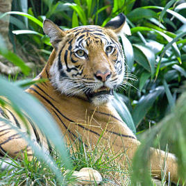 San Diego Zoo Tiger Tickets | GO San Diego Pass